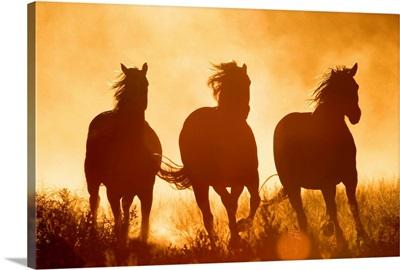 Domestic Horse (Equus caballus) trio running at sunset, Oregon