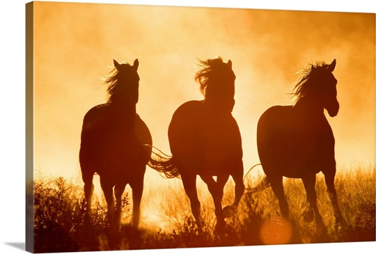 Domestic Horse (Equus caballus) trio running at sunset, Oregon