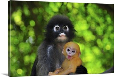 Dusky Leaf Monkey mother with baby, Khao Sam Roi Yot National Park