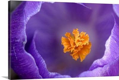 Dutch Crocus (Crocus vernus) flower, Hoogeloon, Netherlands