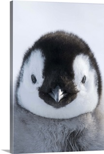 Emperor Penguin (Aptenodytes forsteri) chick, Prydz Bay, eastern Antarctica