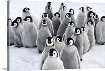 Emperor Penguin chicks, Snow Hill Island, Antarctica