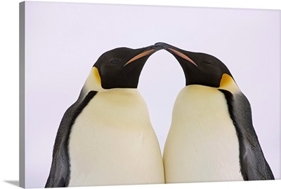 Emperor Penguin pair courting