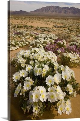 Evening Primrose flowers in desert, Joshua Tree National Park, California