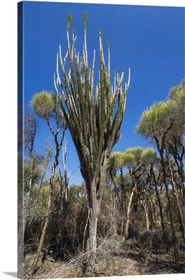 Fantsiolotse tree, Spiny Desert, Andohahela National Park, Madagascar