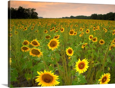 Field of sunflowers, Flint Hills National Wildlife Refuge, Kansas