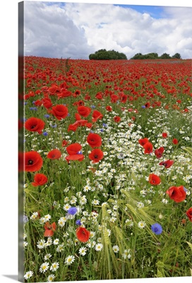 Field with flowering Red Poppies (Papaver rhoeas) and other wildflowers