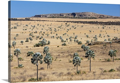 Fire resistant Bismarck Palm trees in savanna near Ilakaka, Madagascar