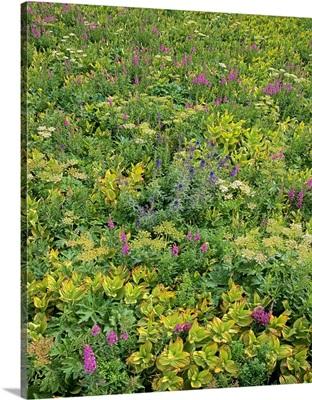 Fireweed flowering in dense brush, San Juan Mountains, Colorado