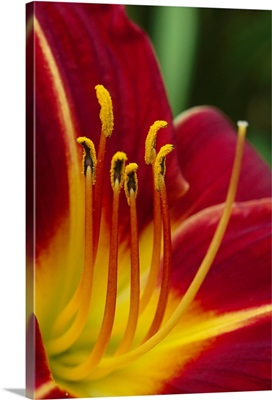 Flower (Hippeatrum sp) close up showing pistil and stamens, New Zealand