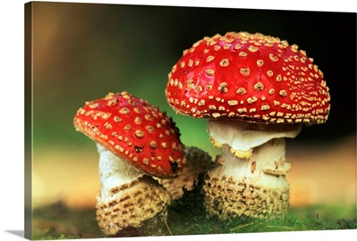 Fly Agaric (Amanita muscaria) pair, highly toxic, grows under pine trees, Europe