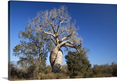 Fony Baobab near Morondava, Madagascar