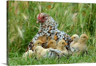 Fowl with chicks