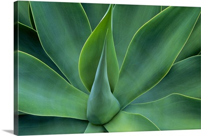 Fox Tail Agave leaves close up, succulent, native to the mountains of central Mexico