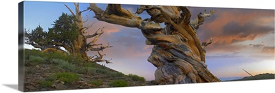 Foxtail Pine tree, twisted trunk of an ancient tree, Sierra Nevada, California