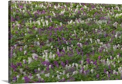 Fumewort flowering, blowing in the wind, Bavaria, Germany