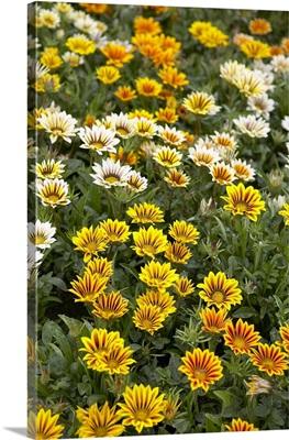 Gazania (Gazania rigens) flowers