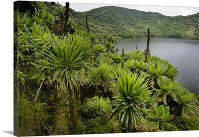 Giant Groundsel and Lobelia growing at edge of crater lake, Rwanda