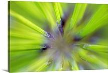 Giant Horsetail Fern(Equisetum telmateia) Detail