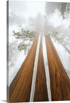Giant Sequoias and Fog Sequoia National Park