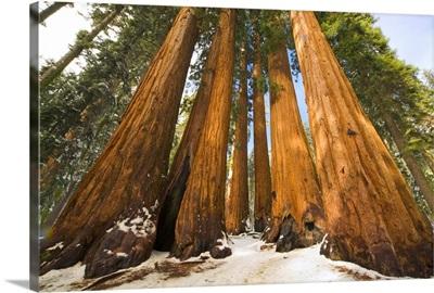 Giant Sequoias and Snow Sequoia National Park