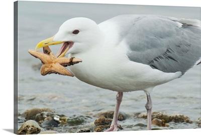 Glaucous-winged Gull eating a seastar, Puget Sound, Washington