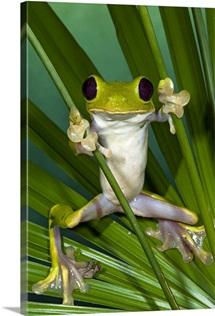 Gliding Leaf Frog (Agalychnis spurrelli), northwest Ecuador