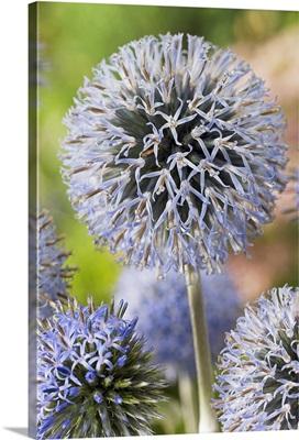 Globethistle (Echinops sp) blue pearl variety flowers