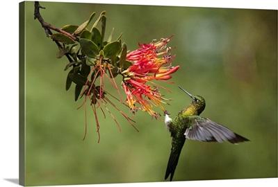 Golden-breasted Puffleg hummingbird feeding on flower nectar, Ecuador
