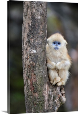 Golden Snub-nosed Monkey young, Qinling Mountains, Shaanxi, China