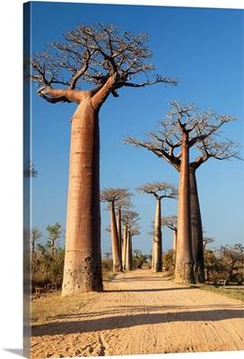 Grandidier's Baobab trees along dirt road near Morondava, Madagascar