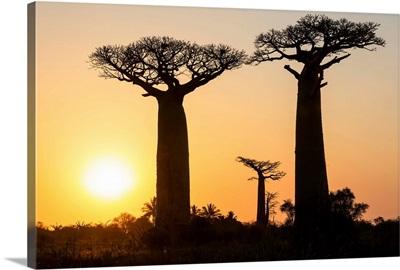 Grandidier's Baobab trees at sunset near Morondava, Madagascar