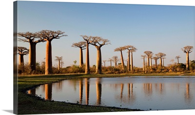 Grandidier's Baobab trees near Morondava, Madagascar