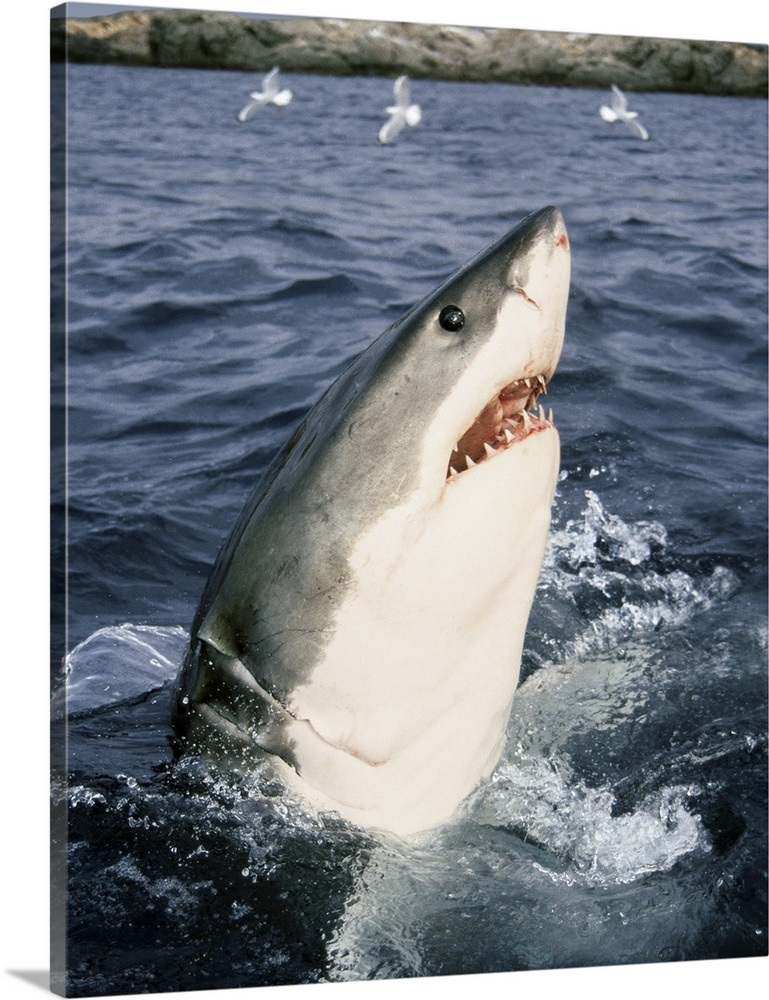 Great White Shark Carcharodon Carcharias Neptune