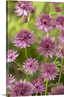 Greater Masterwort (Astrantia major) roma variety flowers