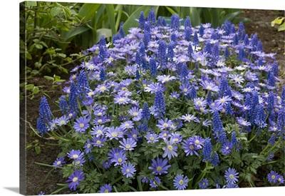 Greek Anemone (Anemone blanda) flowers