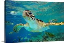 Green Sea Turtle (Chelonia mydas), Balicasag Island, Philippines