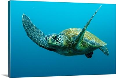 Green Sea Turtle (Chelonia mydas) swimming, Galapagos Islands, Ecuador