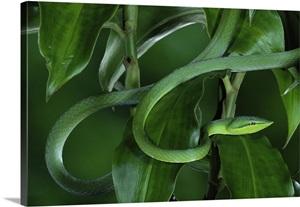 Green Vine Snake Oxybelis Fulgidus Camouflaged Among