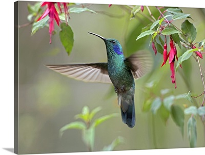 Green Violet-ear (Colibri thalassinus) hummingbird foraging, Costa Rica