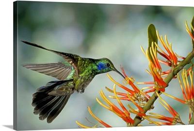 Green Violet-ear hummingbird feeding, Monteverde Cloud Forest, Costa Rica