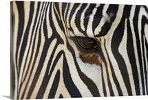 Grevy's Zebra (Equus grevyi) close up of eye, endangered, native to Africa