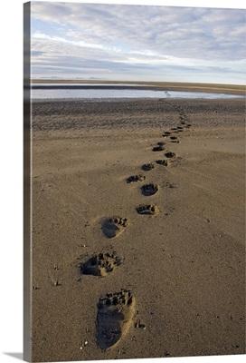 Grizzly Bear (Ursus arctos horribilis) tracks on tidal flats, Alaska
