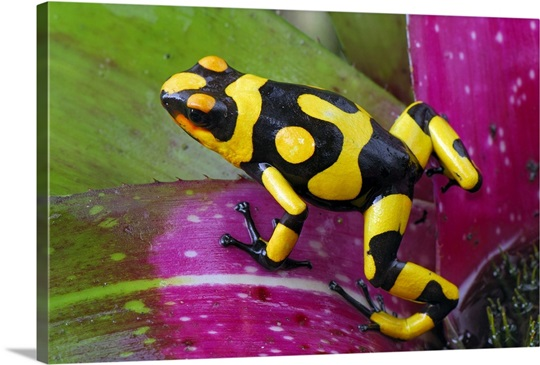 Harlequin Poison Dart Frog on bromeliad, Cauca, Colombia