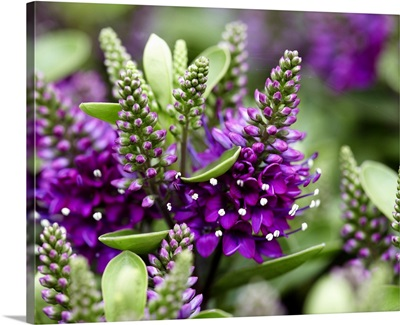Hebe (Hebe sp) dona diana variety flowers