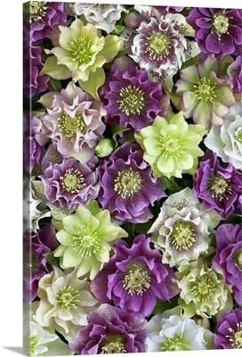Hellebore (Helleborus sp) flowers