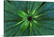Herb Paris (Paris quadrifolia) close up, medicinal plant