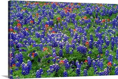 Hill Country wildflowers including Sand Bluebonnets and Paintbrush, Texas