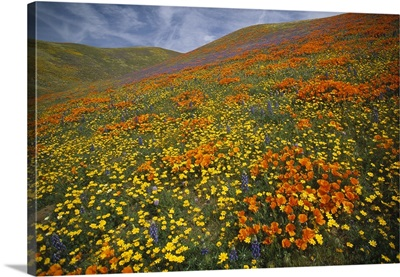 Hills covered with California Poppies and Lupine Tehachapi Mountains, California