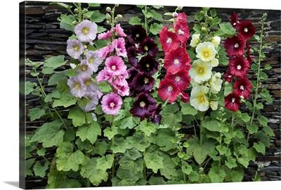Holly Hock (Alcea rosea) flowers